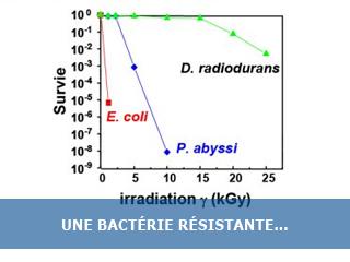 Deinococcus radiodurans, une bactérie résistante aux radiations et à la dessication