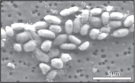 Révolution en exobiologie GFAJ-1-arsenic