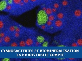 Cyanobactéries et biominéralisation : pourquoi la biodiversité compte pour les minéralogistes