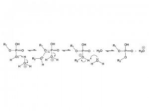 Mécanisme proposé de synthèse de phosphoester (voir l'article original pour plus de détails)