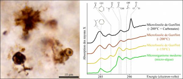 Photographie (microscopie optique) de microfossiles des cherts de Gunflint (Kakabeka Falls) et spectres d'absorption X de ces microfossiles (en jaune) montrant de fortes similitudes avec ceux de micro-organismes modernes (en vert) : la présence de pics d'intensité comparable aux mêmes énergies traduit une chimie similaire.